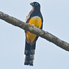 Black-headed Trogon_Dusan Brinkhuizen_6611