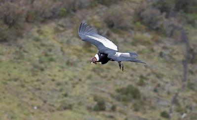 Andean Condor_Dusan Brinkhuizen_1073
