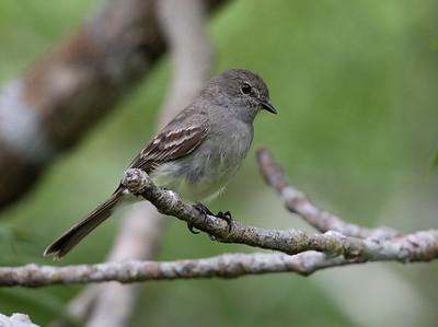 Amazonian Scrub Flycatcher_Dusan Brinkhuizen_1520