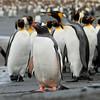Gentoo Penguin-Dusan Brinkhuizewn-0510