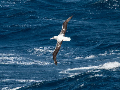 Southern Royal Albatross_Dusan Brinkhuizen_4617