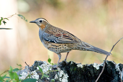 Spotted Quail-Thrush_Dusan Brinkhuizen_3010