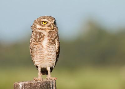 Burrowing Owl-Dusan Brinkhuizen_6821