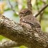 CUBAN PYGMY-OWL - Glaucidium siju -<br /> La Turba, February 2016, Zapata Peninsula, Matanzas, Cuba