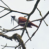 Three-wattled Bellbird_Dusan Brinkhuizen_5134