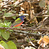 Painted Bunting_Dusan Brinkhuizen_7179