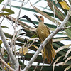 FERNANDINA'S FLICKER - Colaptes fernandinae -<br /> Sopllilar, Zapata Peninsula, February 2016, Matanzas, Cuba
