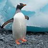 Gentoo Penguin-Dusan Brinkhuizen-2786