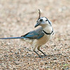 White-throated Magpie Jay_Dusan Brinkhuizen_5405