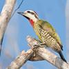 CUBAN GREEN WOODPECKER - Xiphidiopicus percussus - <br /> La Turba, February 2016, Zapata Peninsula, Matanzas, Cuba