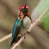 BEE HUMMINGBIRD - Mellisuga helenae -male<br /> Zapata Peninsula, February 2016, Matanzas, Cuba