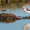 American Avocet and Her Nest