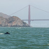 Humpback and the Golden Gate