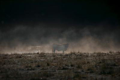 Misty Cow