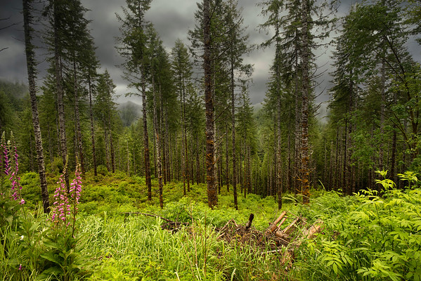Cloudy morning in the Oregon Coastal Forest