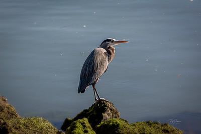 Heron on Rock
