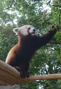 TTH-L-Red Pandas-0607B