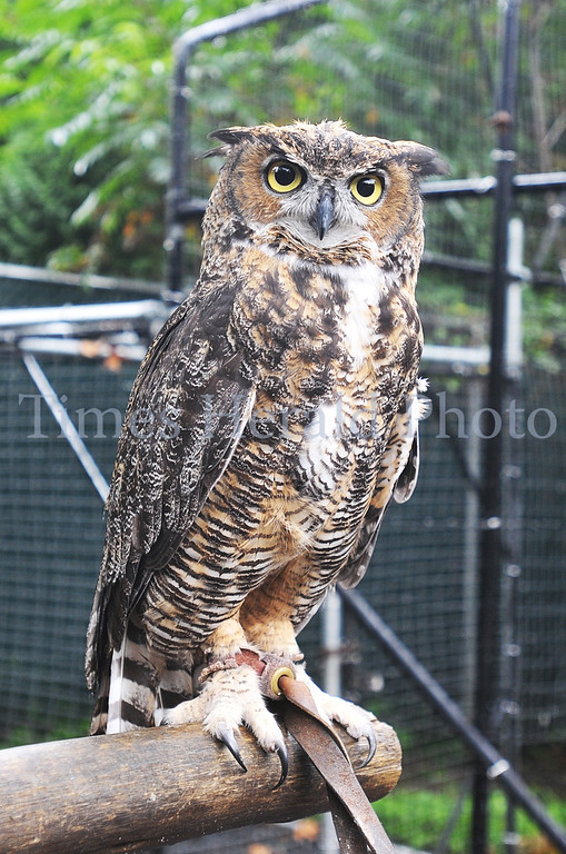 . Stella, a Great Horned Owl, poses for a picture at the Elmwood Park Zoo.  Wednesday, August 28, 2013.  Photo by Adrianna Hoff/Times Herald Staff.
