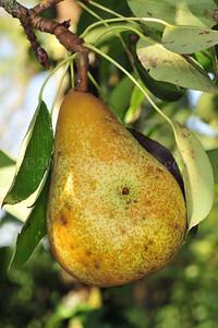 Orchard Fruits le Chene Billot DSC_3782