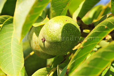 Orchard Fruits le Chene Billot DSC_3750
