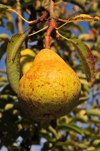 Orchard Fruits le Chene Billot DSC_3739