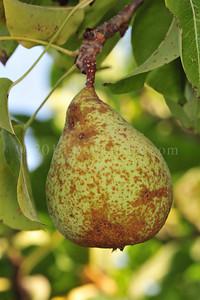 Orchard Fruits le Chene Billot DSC_3776