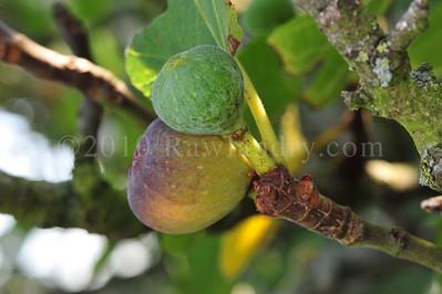 Orchard Fruits le Chene Billot DSC_3793