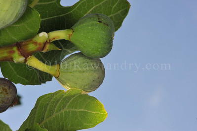 Orchard Fruits le Chene Billot DSC_3805