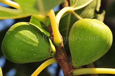 Orchard Fruits le Chene Billot DSC_3768