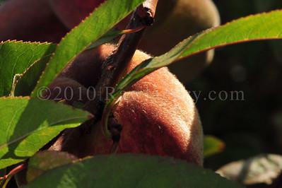 Orchard Fruits le Chene Billot DSC_3760