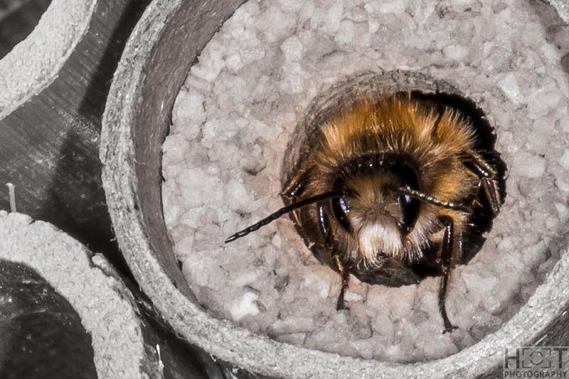 Mauerbienen