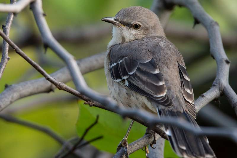 Eastern Mockingbird