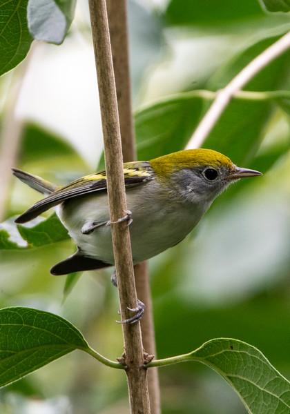 Chestnut-side Warbler