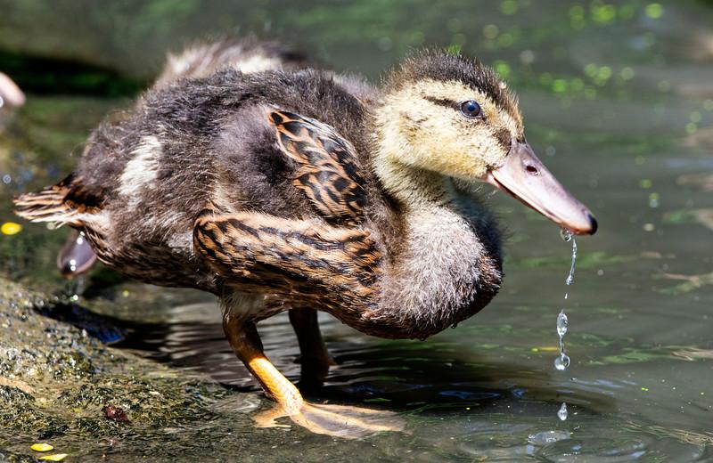 Mallard Duck, gosling