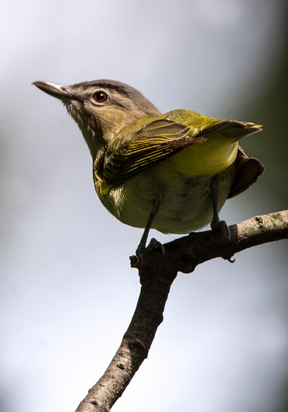 Red-eye Vireo