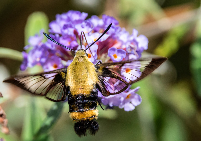 Clearwing Humminbird Moth