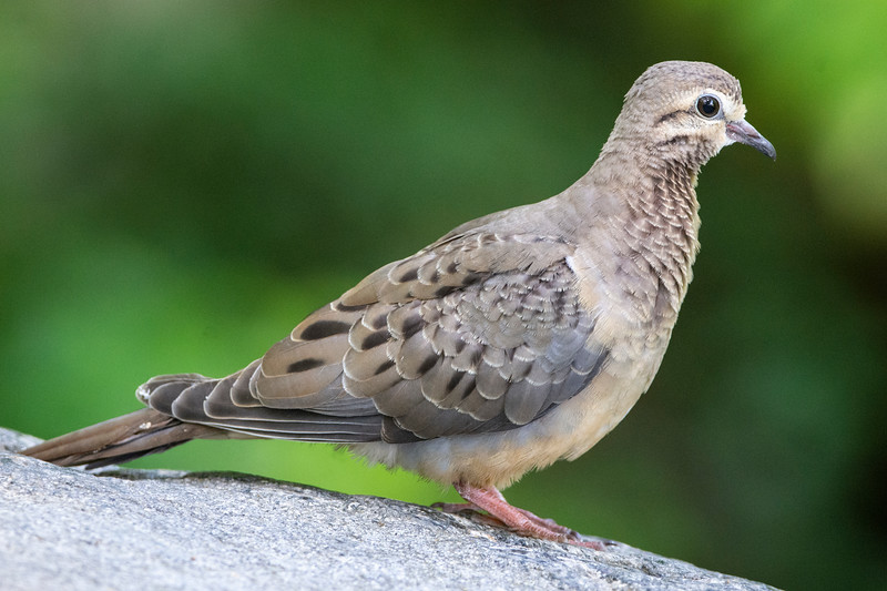 Morning Dove, juvenile