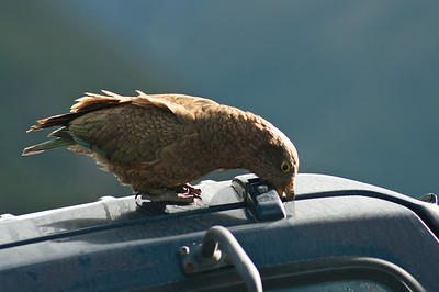 Kea miluje cokoli gumové - přes noc mi tihle papouši ohlodali boty, které jsem krátkozrace nechal pod autem