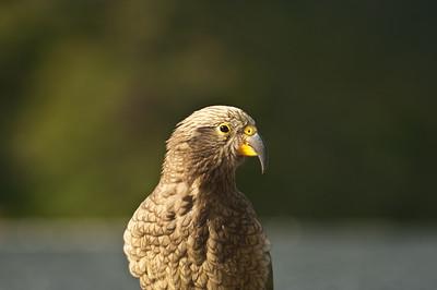 Nestor Kea - jediný horský papoušek světa a maskot Jižního ostrova