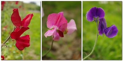 Podoby hráškového květu