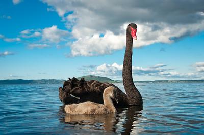 ... a černé labutě!