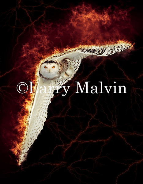 Snowy Owl Wings Outstretched on Fire