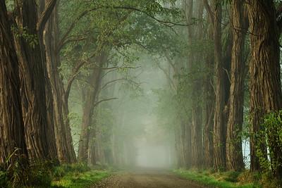 Foggy acacia road