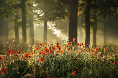 The poppy forest