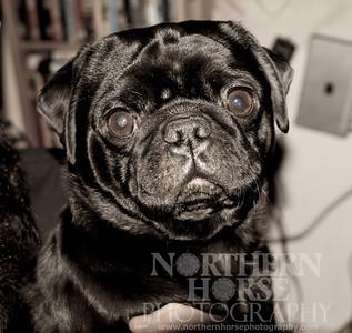 Nacho Liebre the Pug