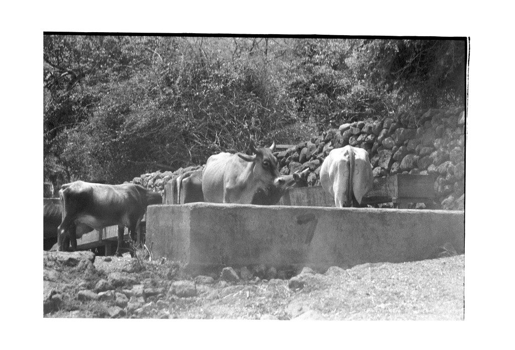 Cattle at the Watering Tank