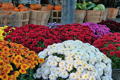 Mums and Pumpkins
