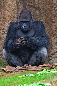 Gorilla With Pinecones