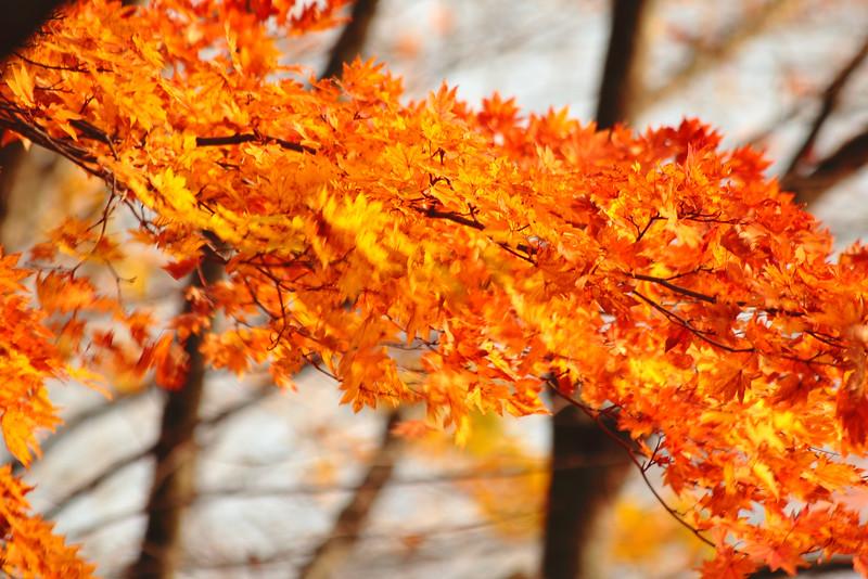 Autmun leaves, Nikko Japan
