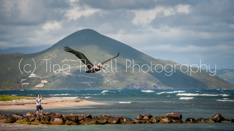 While relaxing on Nisbet's beach, the view are spectacular.  Standing on the beach, Look all the way to the way left and you will see the tip of St. Kitts.   Don't forget to bring your camera or your binoculars so you watch the always entertaining Brown Pelican that  feeds and  cruises all along our beach!